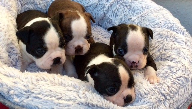 Boston Terrier Puppies For Sale Ohio Pike Oh 262423