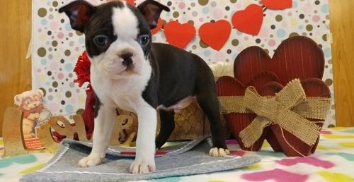 boston terrier breeders wi boston terrier puppies for sale oostburg wi 264207 3993
