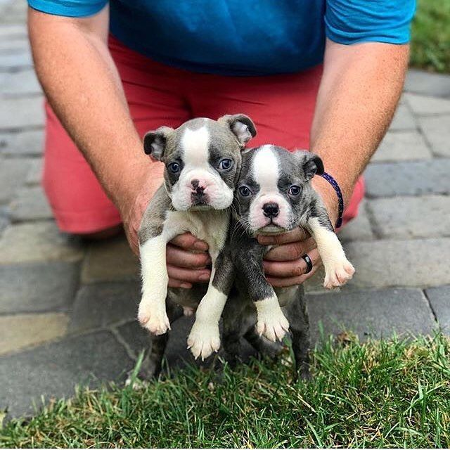 Boston Terrier Puppies For Sale | Virginia Beach, VA #265921