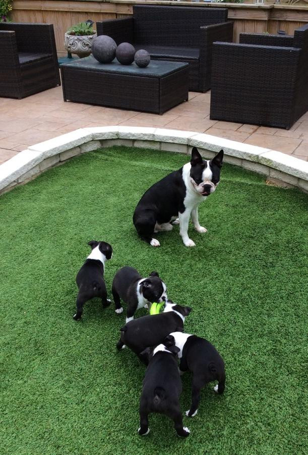 boston terrier essay Boston terrier puppies for sale boston terriers are native to the united states, originating in - you guessed it - boston a people-loving, lively breed, bostons are known for their expressive faces and amusing sense of humor.