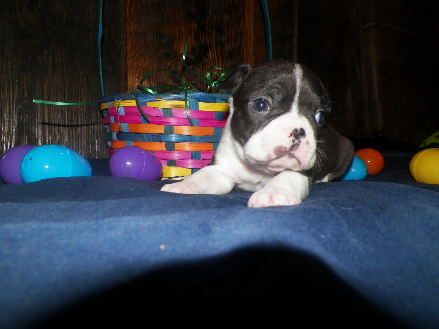 Boston Terrier Puppies For Sale Cave City Ky 273795 - Www