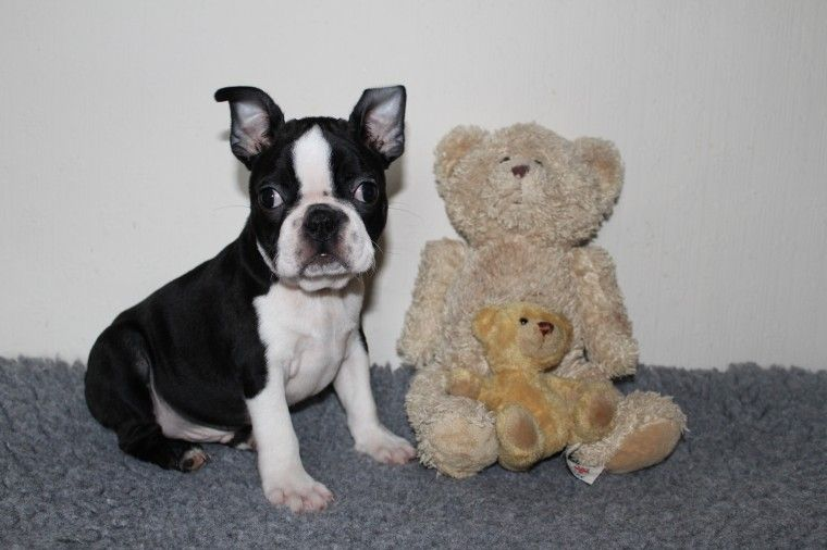 boston terrier breeders in pa boston terrier puppies for sale pittsburgh pa 279993 1959