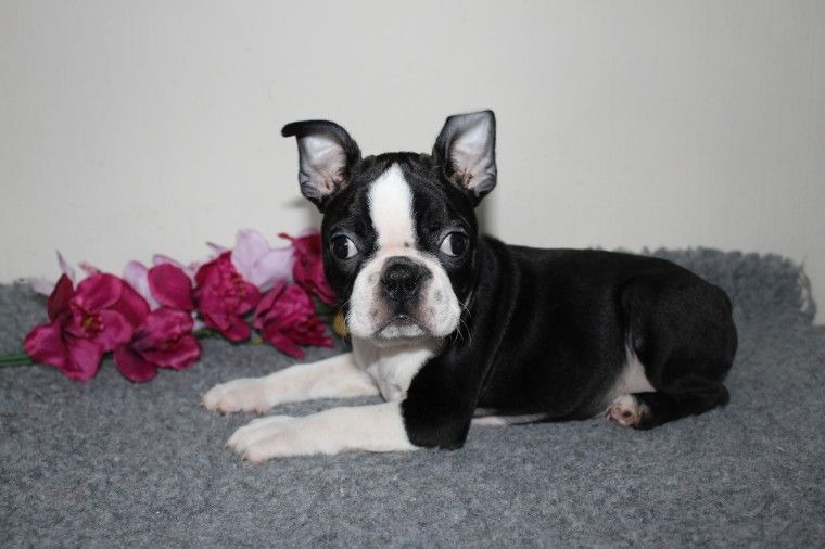 Boston Terrier Puppies For Sale Charleston Sc 280270