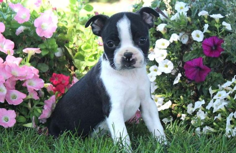 boston terrier breeders in pa boston terrier puppies for sale pittsburgh pa 281430 643