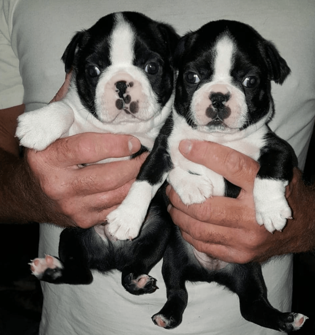 boston terrier breeder nj boston terrier puppies for sale deer meadows wa 282427 3109