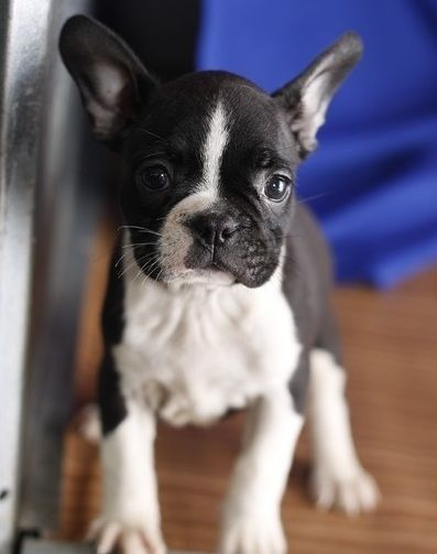 boston terrier breeders wi boston terrier puppies for sale menomonie wi 215303 4657