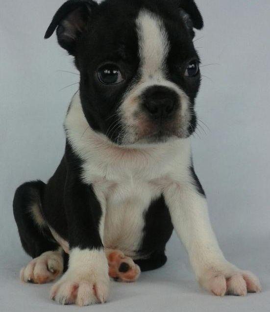 Boston Terrier Puppies For Sale North Carolina 54 Triangle Nc