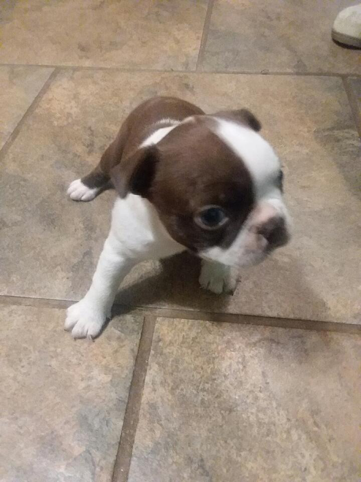 Boston Terrier Puppies For Sale Trinity Nc 288370
