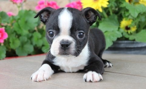 Boston Terrier Puppies For New