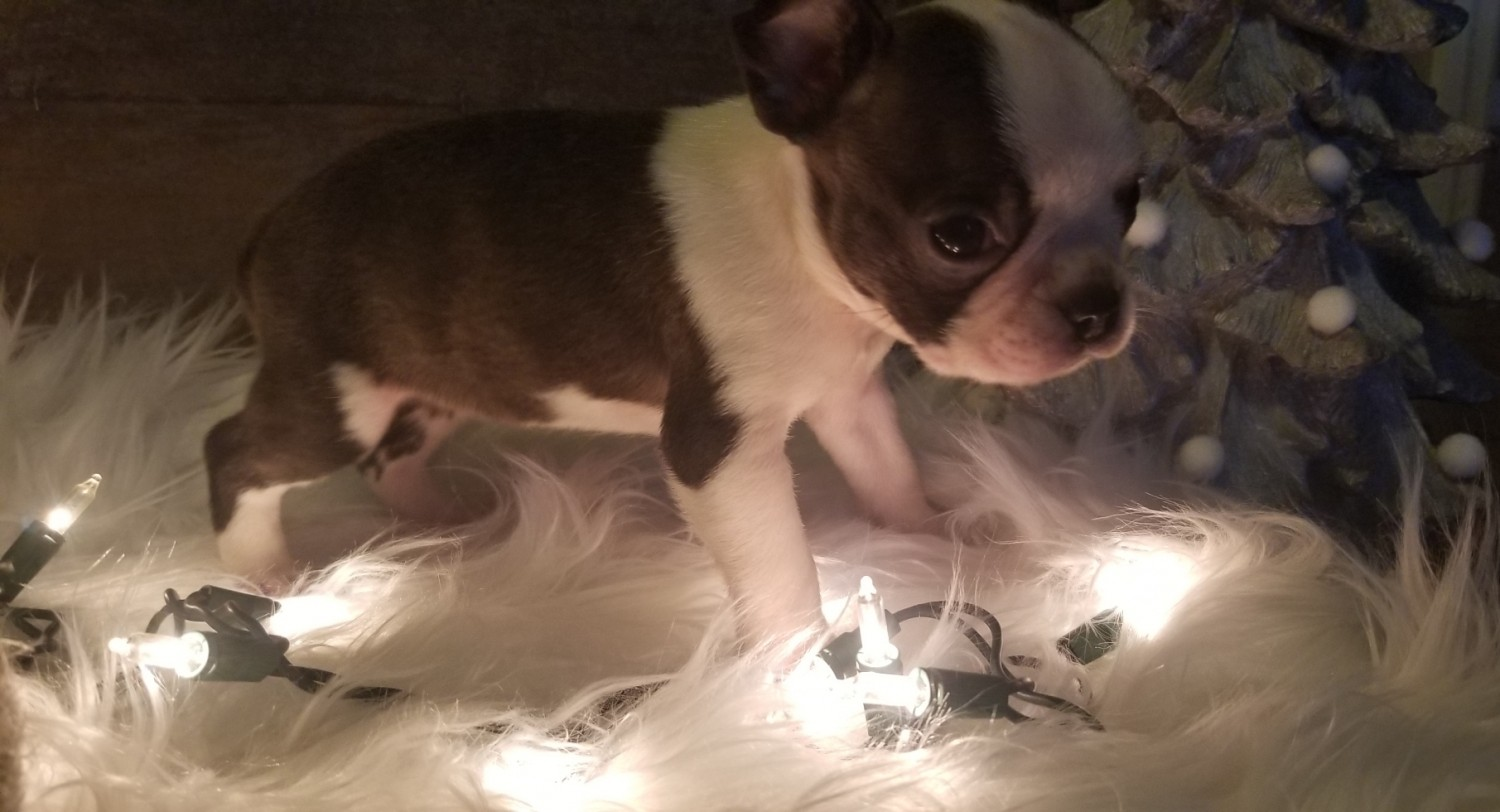 Boston Terrier Puppies For Sale Mullins Sc 313553