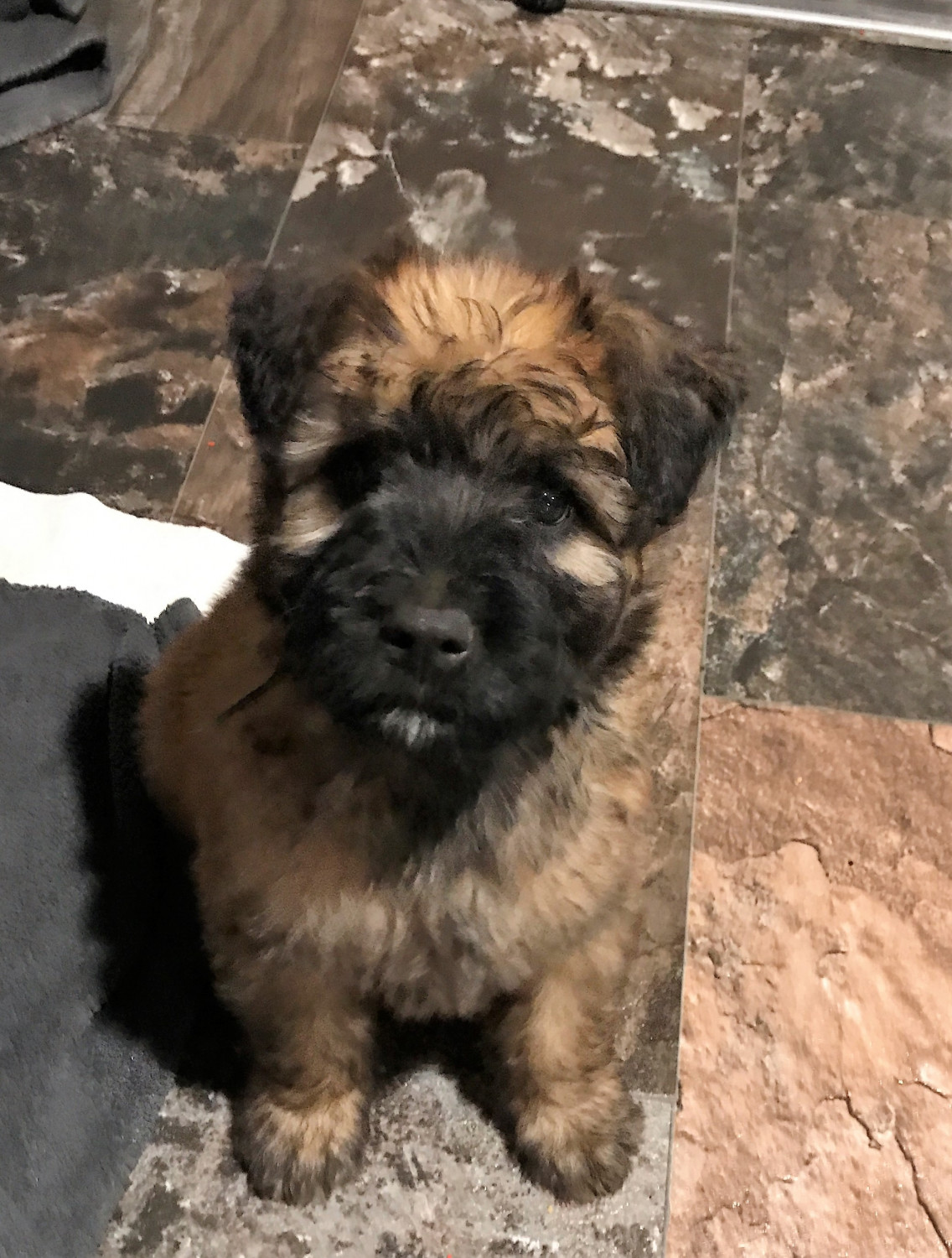 Bouvier Des Flandres Puppies For