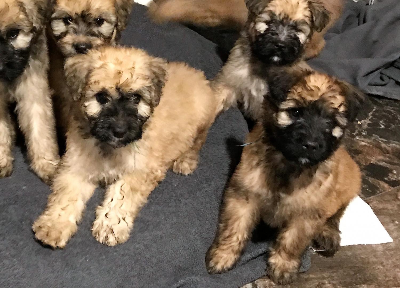 Bouvier Des Flandres Puppies For Sale Hastings Mi 237333
