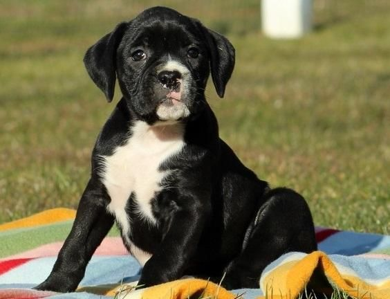 Boxer Puppies For Sale Cambridge Ma 133048 Petzlover