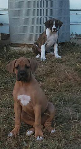 Boxer Puppies For Sale Norcross Ga 163860 Petzlover