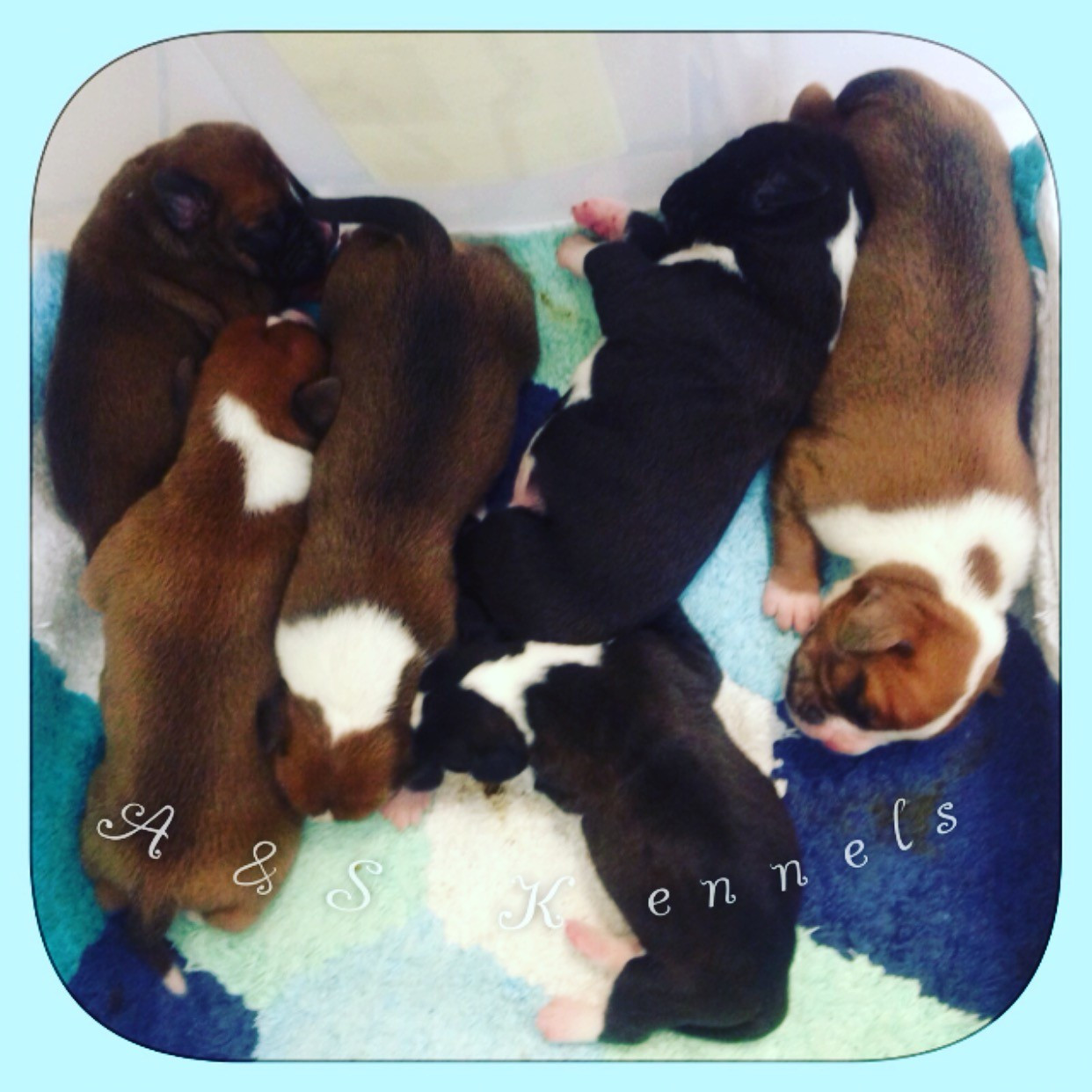 Boxer Puppies For Sale Lancaster Ma 176845 Petzlover