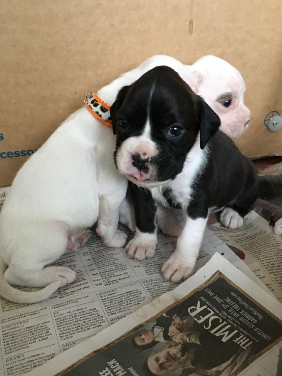We offer 31 Boxer puppies for sale in California. These Boxer puppies located in California come from different cities, including, RIVERSIDE, RIVERBANK, OCEANSIDE, MORENO VALLEY, MILLVILLE, Madera, LOS ANGELES, Lake Elsinore, DOWNEY, CARMICHAEL, BLUE LAKE, BEVERLY HILLS.