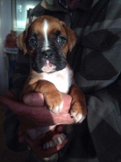 Boxer Puppies For Sale Massachusetts Avenue Ma 195442