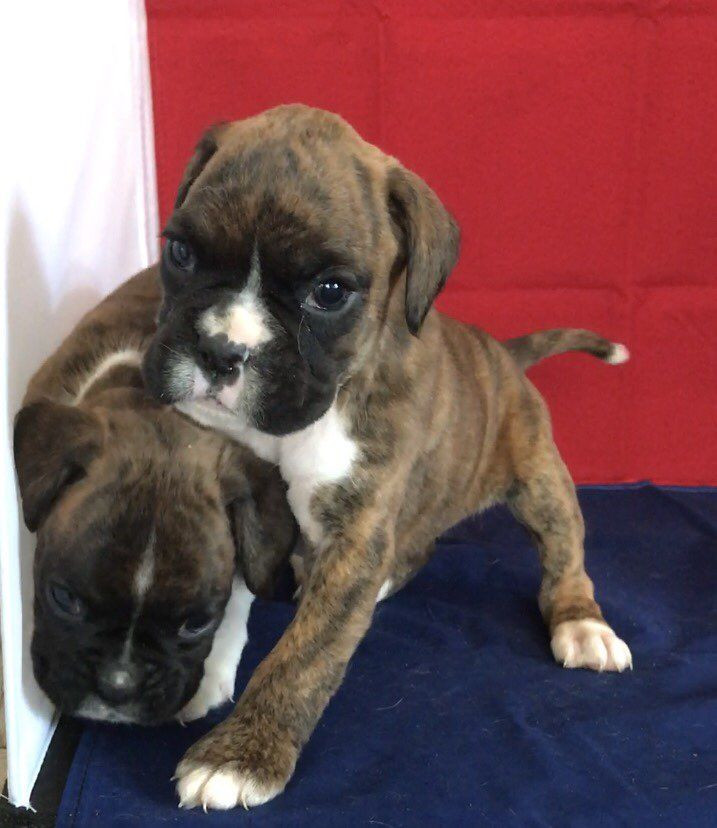 Boxer Puppies For Sale   White Hall, AR #199366   Petzlover