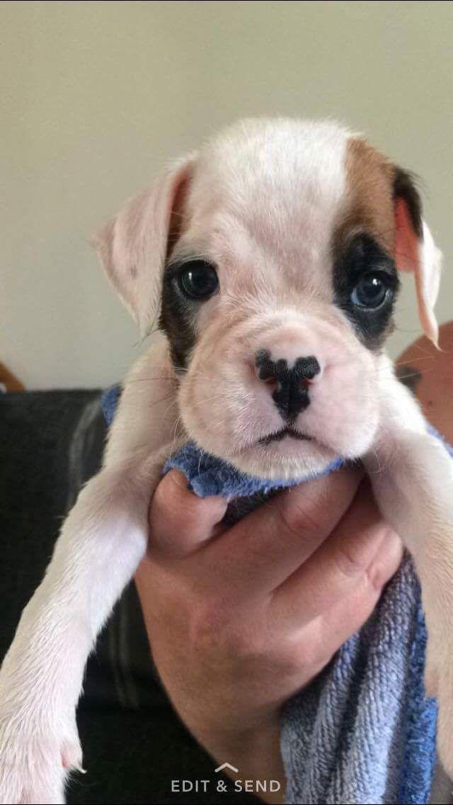 Boxer Puppies For Sale Nevada Street Newark Nj 215930
