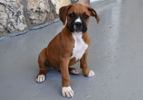 boxers puppies for sale in oklahoma boxer puppies for sale tulsa ok 246411 petzlover 7889