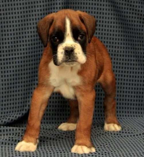 Boxer Puppies For Sale Las Vegas Nv 265764 Petzlover