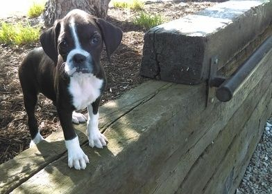 Boxer Puppies For Sale Panama City Fl 270588 Petzlover