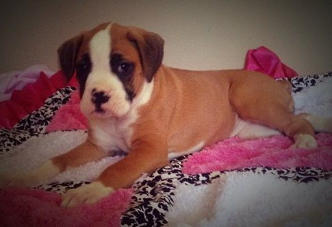 Boxer Puppies For Sale Craigslist Inland Empire - petfinder