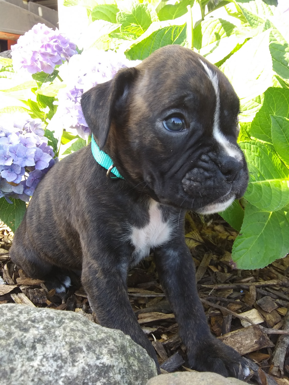 Buy Boxer Puppies For Sale In Australian Capital Territory Australia