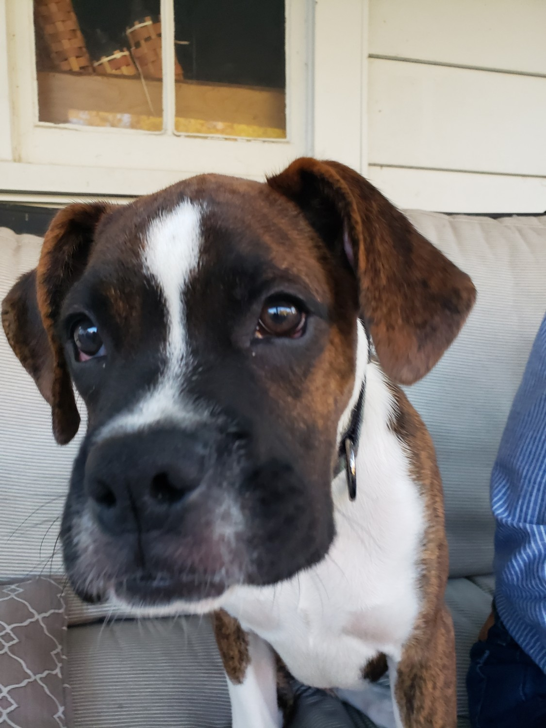 View Ad: Boxer Puppy for Sale near Japan