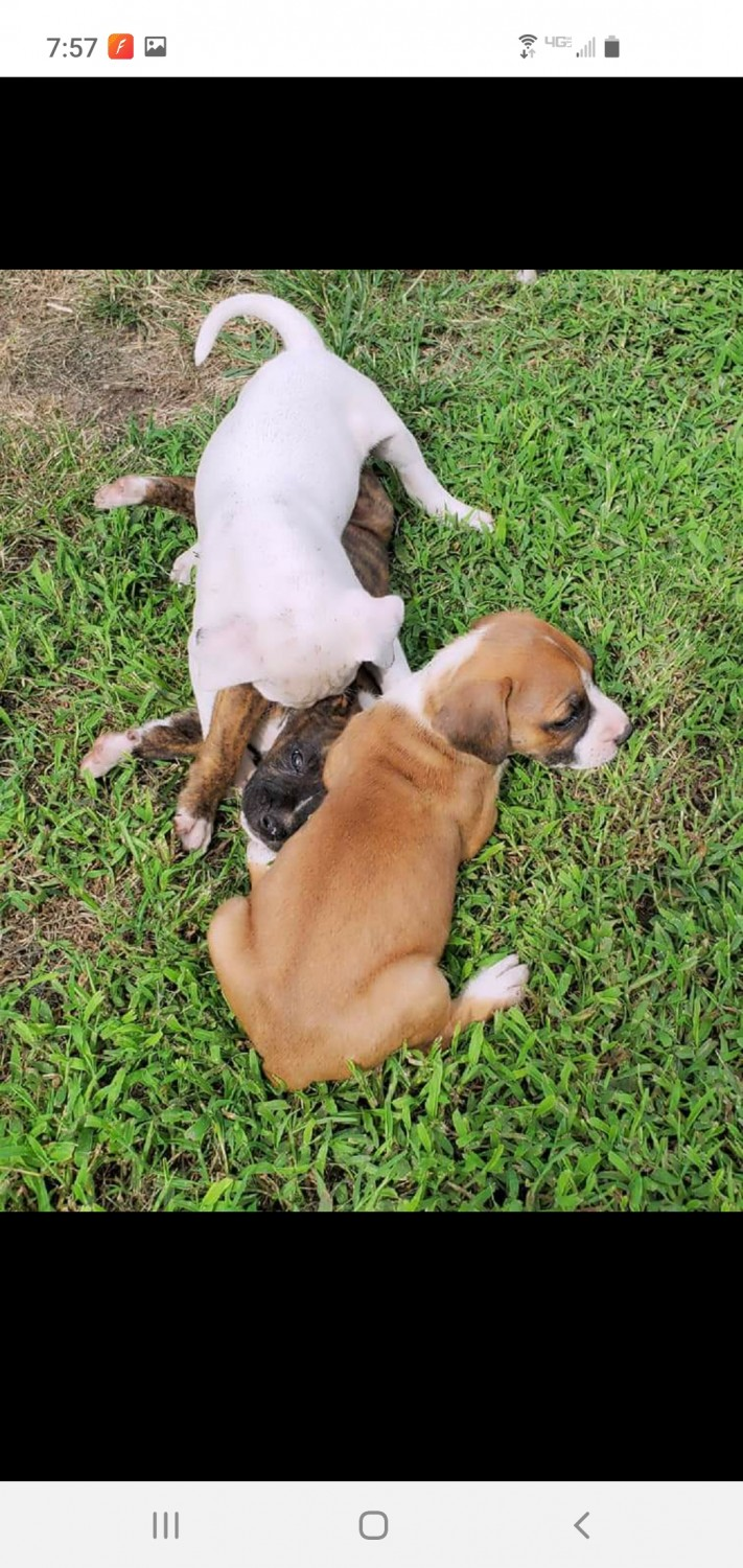 Boxer Puppies For Sale | Tyner, NC #334863 | Petzlover