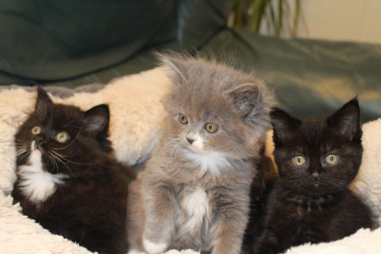 British Longhair Cats For Sale North North Carolina Avenue