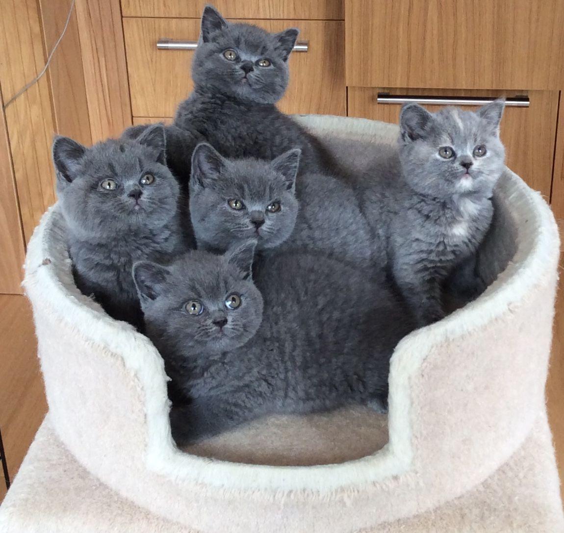 British Shorthair Cats For Sale | Buffalo, NY #151802