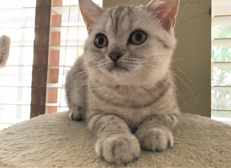 British Shorthair Cats For Sale | Orlando, FL #172695