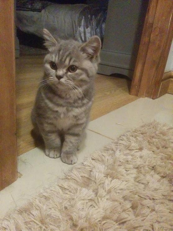British Shorthair Kittens For Sale In California