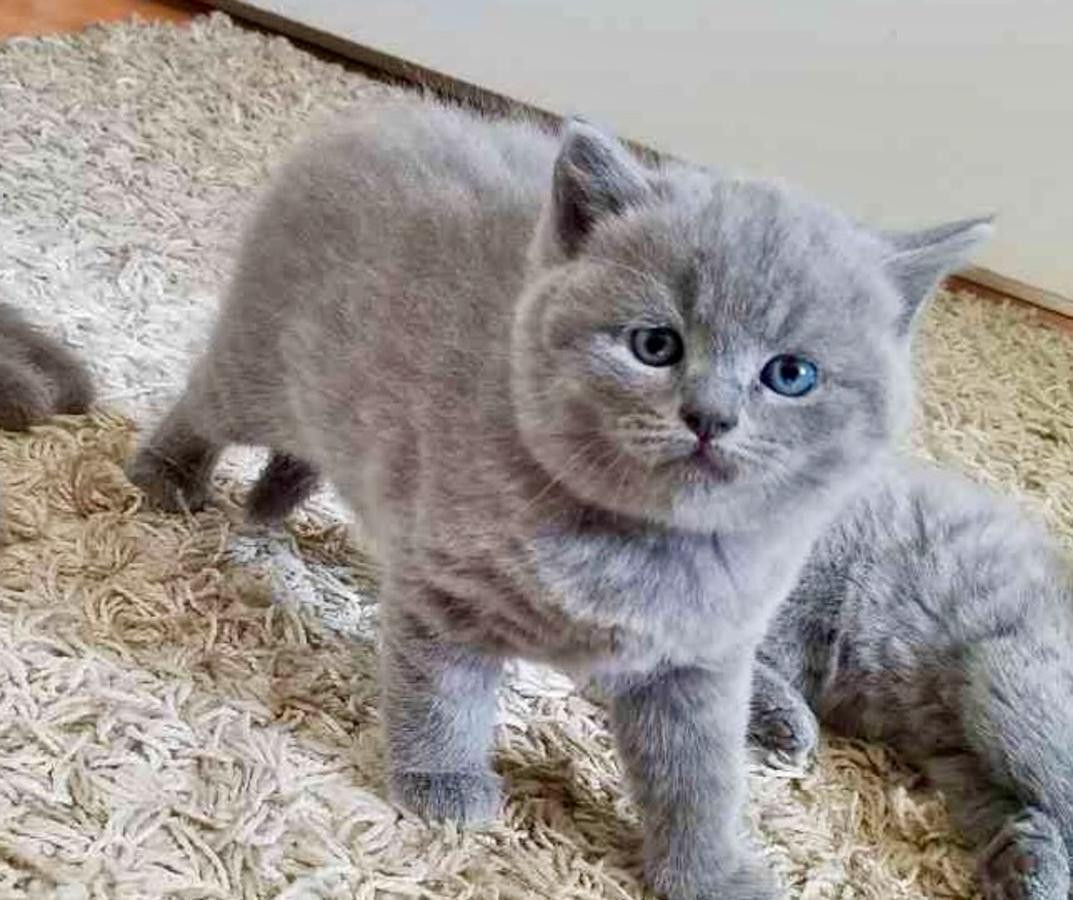 British Shorthair Cats For Sale | Portland, OR #262842