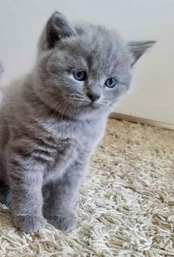 British Shorthair Cats For Sale | Portland, OR #266239