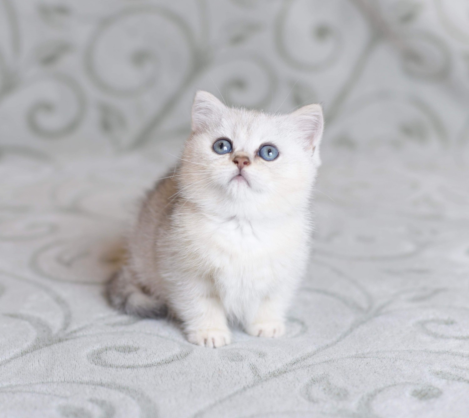 British Shorthair Cats For Sale San Diego Ca 304593