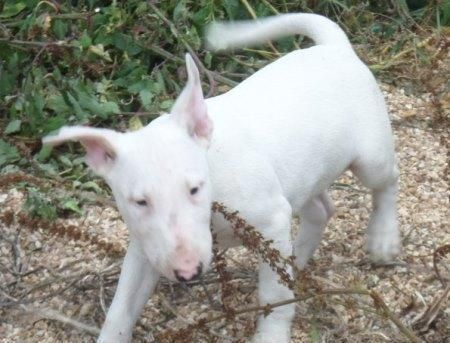 bull terrier puppies for sale in pa bull terrier puppies for sale pittsburgh pa 102564 570