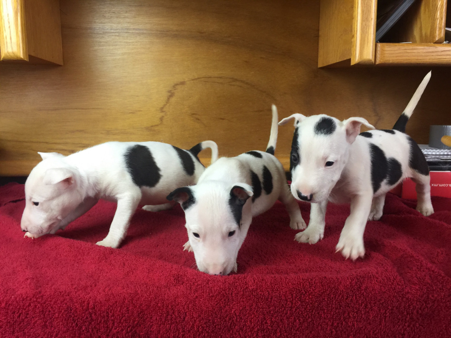 Dog Puppies For Sale Ny