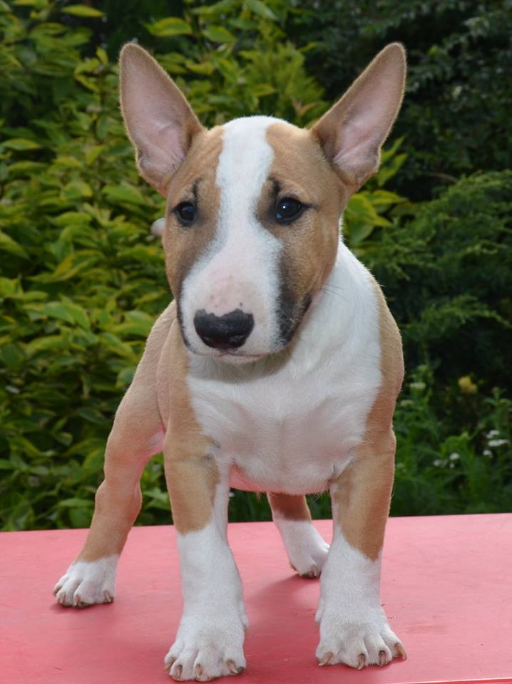 Bull Terrier Miniature Puppies For