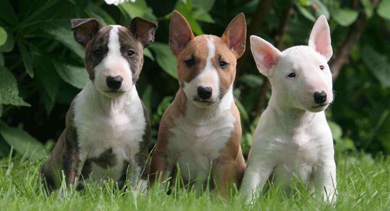 Bull Terrier Vs Airedale
