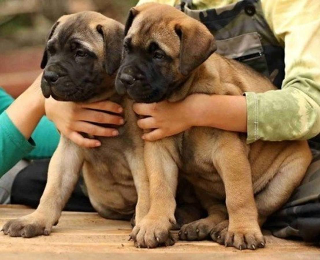 Bullmastiff Puppies For Sale | Louisiana USA #117407