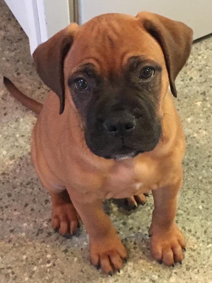 View Ad: Bullmastiff Litter of Puppies for Sale near Georgia USA