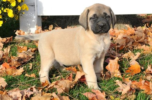 Bullmastiff For Sale in California - Hoobly Classifieds