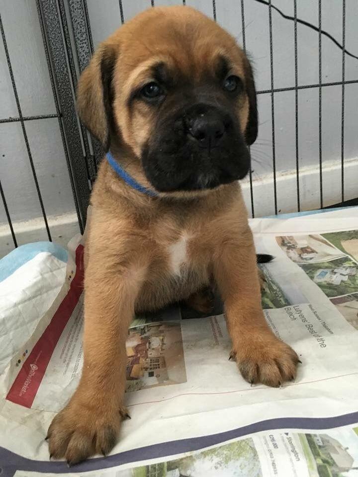 Puppyfinder.com: Bullmastiff puppies puppies for sale near Arizona USA