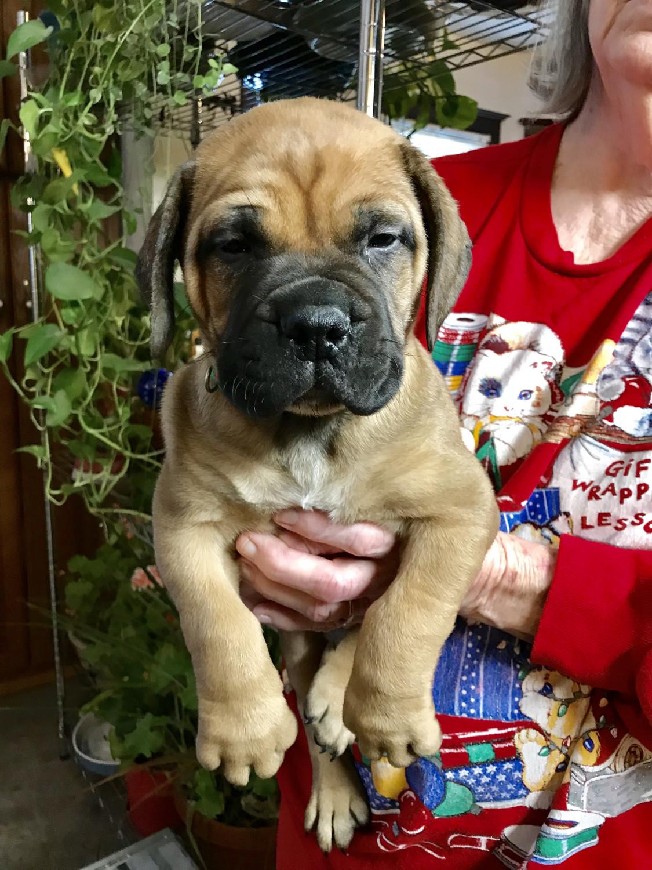Bullmastiff Puppies for sale in Idaho USA