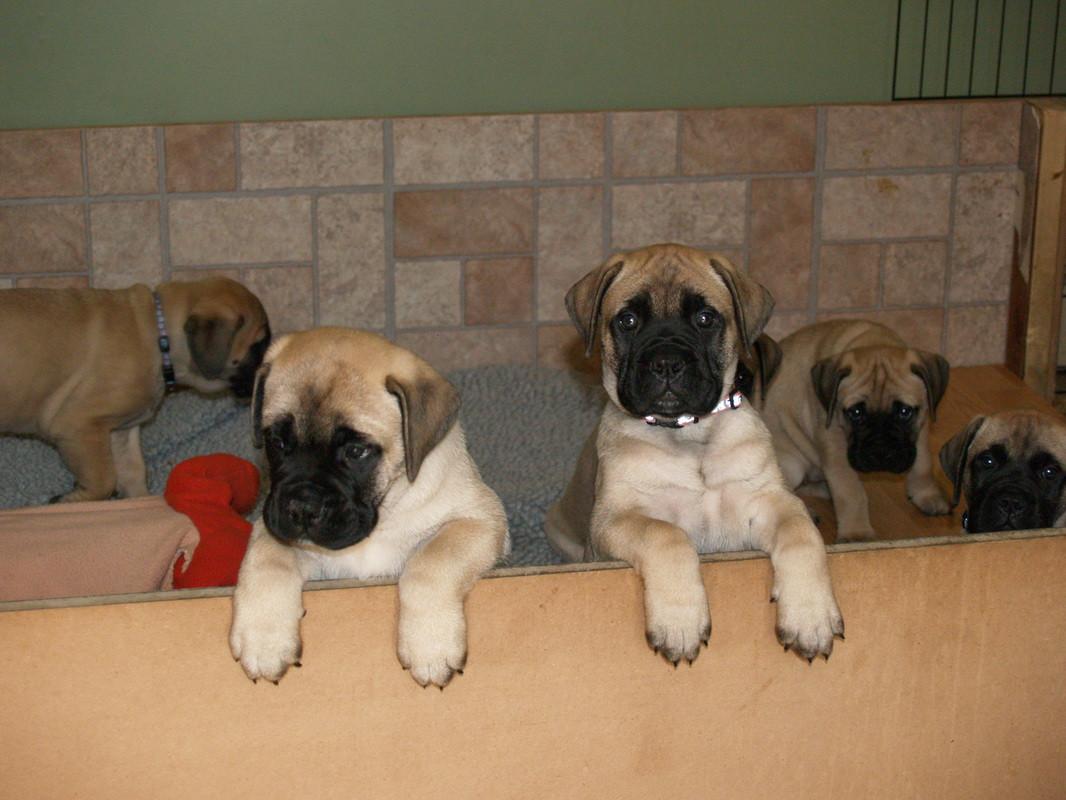Bullmastiff Puppies for sale in New York USA