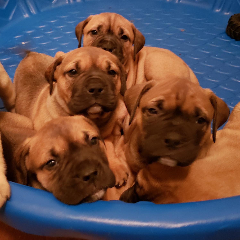 Bullmastiff Puppies For Sale Iowa USA