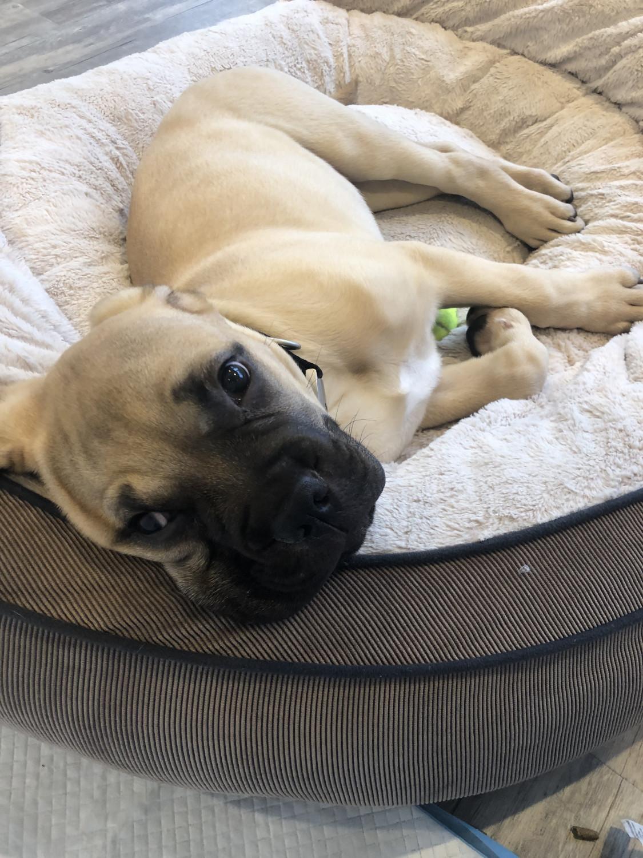 Bullmastiff puppy for sale near Dallas / Fort Worth, Texas USA