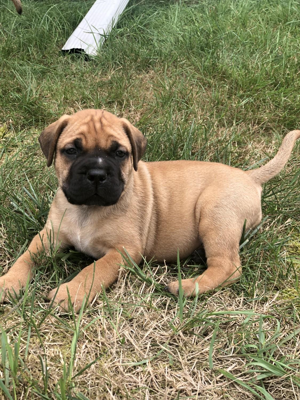 Bullmastiff puppy dog for sale in South Carolina USA